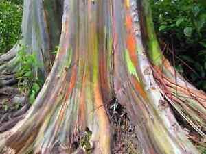 150 Graines Eucalyptus Deglupta, Arc-en-ciel Eucalyptus, Oiseau Rare.-lyptus, Rarität! Fr-fr Afficher Le Titre D'origine