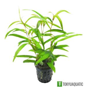 Hygrophila-Salicifolia-Narrow-Leaf-Potted-Live-Aquarium-Exotic-Plant-Freshwater
