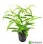 Hygrophila-Salicifolia-Narrow-Leaf-Potted-Live-Aquarium-Exotic-Plant-Freshwater thumbnail 1
