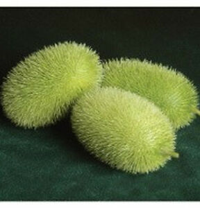 Wooly-Bear-Gourd-Seeds-VERY-rare-in-North-America-Small-elongated-fruit