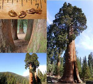 Mammutbaum-Riesenmammutbaum-SAMEN-Menge-waehlbar-Redwood-Winterhart