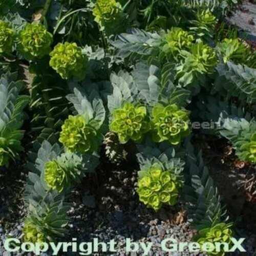 Walzen Wolfsmilch Euphorbia myrsinites