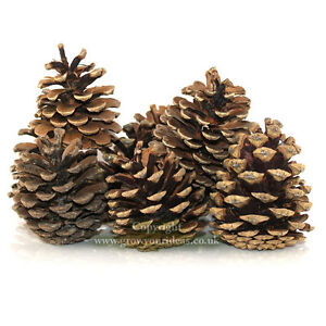 30-Natural-Pinecones-for-Christmas-decorations-wreaths-and-crafts