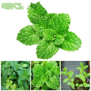 Am-KQ-45Pcs-Peppermint-Mint-Seeds-Garden-Herb-Plants-Home-Courtyard-Balcony-Bo