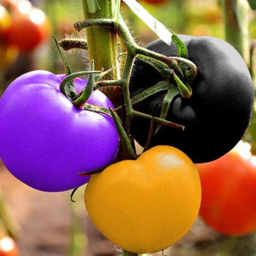 100stk Regenbogen Tomate sät bunten Bonsais-organischen Gemüse Samen Easy DIY