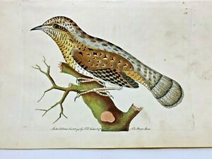 Wryneck Bird - 1783 RARE SHAW & NODDER Hand Colored Copper Engraving
