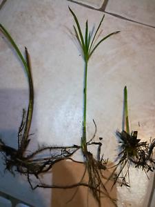 1 Petit Papyrus Cyperus Alternifolius 10/15 Cm Plante Bassin Jardin, Appartement Haut Niveau De Qualité Et D'HygièNe