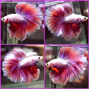 Live Betta Fish SWEET HOTPINK DRAGON Rosetail Halfmoon Male T484