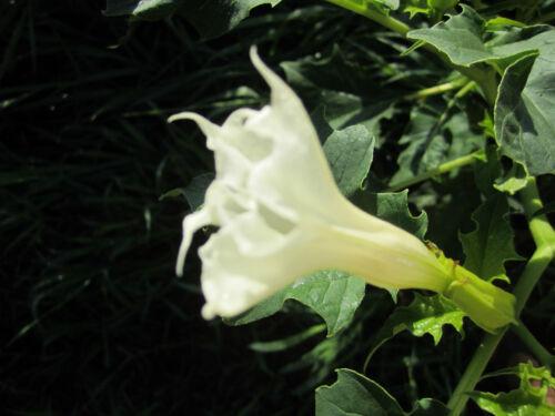 Brugmansia 15 Devil/'s Trumpet Seeds *White Flower Datura