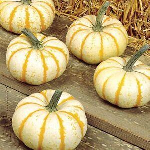 25-Pumpkin-Seeds-lil-Pump-KE-Mon-F1-Pumpkin-seeds