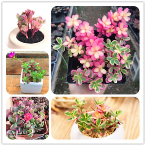 100-Pieces-graines-Portulaca-grandiflora-Bonsai-succulents-fleurs-fleshier-Jardin-U