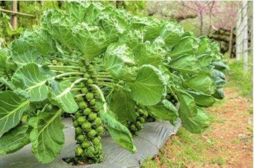 Seeds Brussels Cabbage Long Island Rosella Vegetable Organic Heirloom Russian