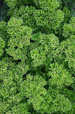 Vegetable - Parsley - Champion Moss Curled - 500 Seeds - Economy