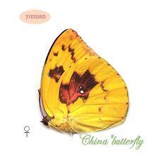 FEMALE unmounted butterfly Catopsilia pomona pomona (Fabricius) f.catilla A1-