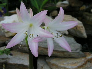 blooming-size bulb Pink Mystery Crinum Lily JUMBO