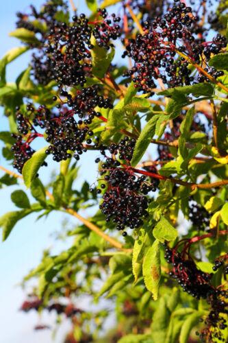 100 Elder Flower Hedge Plants 1-2ft,Make Elderberry Wine /& Elderflower Lemonade