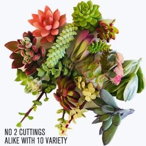 10-assorted-succulent-cuttings-10-varieties-beginners-succulents-Home-Decor