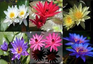 Jaune-rouge-bleu-blanc-rose-Violet-Lis-d-039-eau-Nymphaea-5-Graines-live
