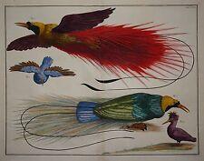 Albertus Seba - Thesaurus 1734 - Paradiesvögel - Prächtiges Original -Altkolorit