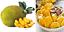 5 seed Artocarpus heterophyllus ~JAKFRUIT~ Tree Worlds Jackfruit M394