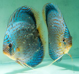 25039039 Discus Fish Blue Turquoise UK Bred from stunning pair - St. Albans, United Kingdom - 25039039 Discus Fish Blue Turquoise UK Bred from stunning pair - St. Albans, United Kingdom