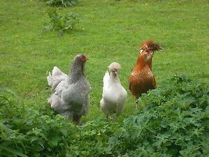 Aus-Tierheilpraxis-Kraeuter-Wurmkur-fuer-Huehner-Enten-usw-bewaehrte-Mischung