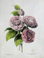 Pfingstrose Paeonia Peony Pivoine Peoania Staude Blüte Blatt Rosen Botanik