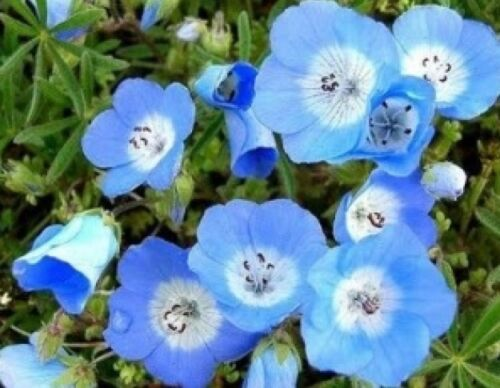 BABY BLUE EYES 100 FRESH SEEDS FREE SHIPPING