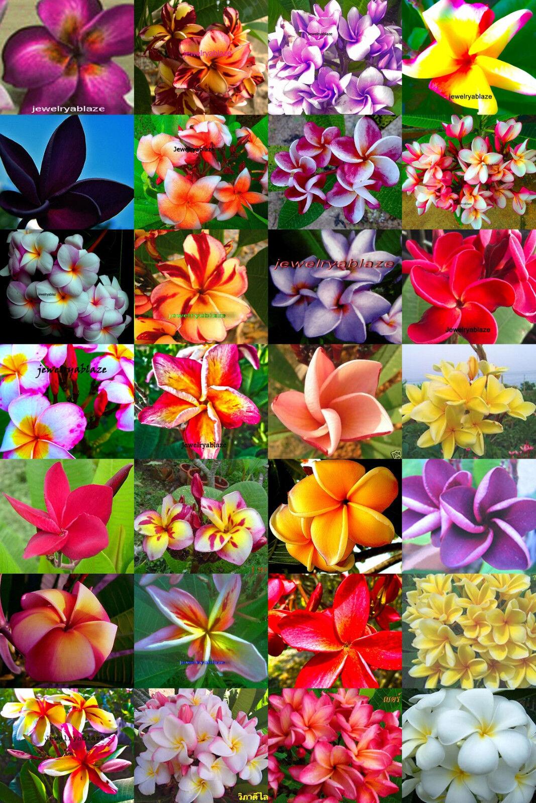 Plumeria Frangipani Flores Plantas    MX  500 semillas
