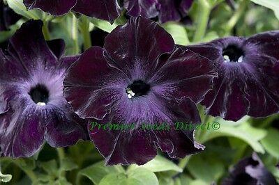 FLOWER PETUNIA SOPHISTICA F1 BLACKBERRY 20 PELLETS