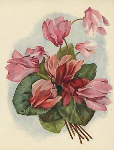 ANTIQUE CYLAMEN GARDEN PINK RED FLOWERS CHROMOLITHOGRAPH OLD COLOR ART OLD PRINT