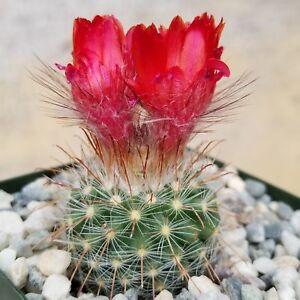 Parodia-sanguiniflora-Cactus-Cacti-Succulent-Real-Live-Plant