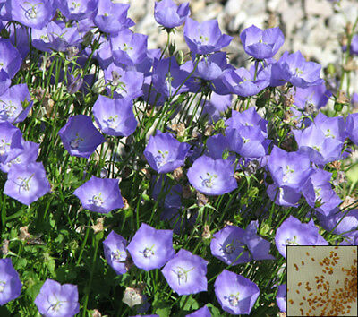 Campanula carpatica 5400 seeds PERENNIAL FLOWER #676#3 TUSSOCK BELLFLOWER BLUE