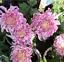 100Pcs-Rare-Bicolor-Pink-Yellow-Chrysanthemum-Seeds-Morifolium-Garden-DIY-Flower thumbnail 4