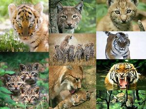 Tier-Postkarten-Set-9-St-034-WILDKATZEN-034-ideal-fuer-Sammler-und-Postcrossing