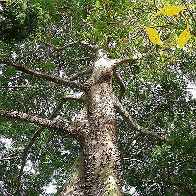 SILK COTTON TREE Ceiba Pentandra 15,20,30 SEEDS