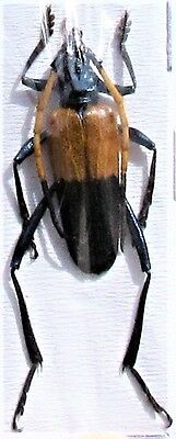 Lot of 10 Colorful Yellow & Black Longhorn Beetle Pachyteria javana FAST FROM US