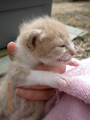 PLEASE SPONSOR CAT RESCUE AMBER'S SURGERY CHARITY WHITE CAT BUTTON PIN PHOTO