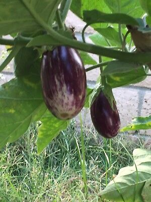 RARE✿ Heirloom Purple Striped Listada De Gandia Eggplant 15 Seeds ●Great Flavor