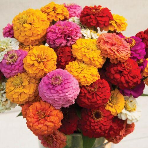 ZINNIA Formula Mix 40 Seeds flower garden 17 TYPES MIXED cottage dahlia flowered