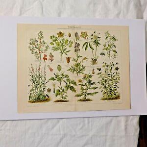Giftpflanzen-Chromolithografie-19-Jhdt