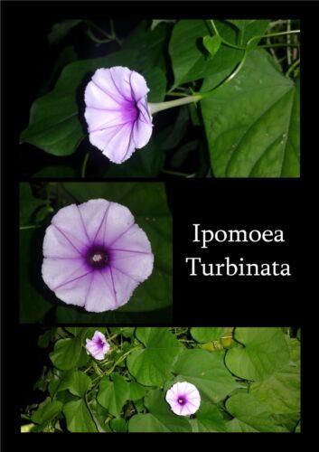 20 graines Ipomoea turbinata morning glory ipomée seeds lavender moon