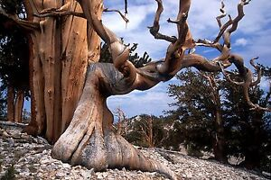 Bristlecone Pine Pinus Aristata Tree Seeds Hardy Evergreen Bonsai Ebay