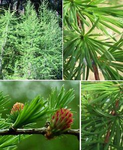 Lärche Larix de. ☼ Auszeichnung zum Baum des Jahres 2012 ☼ Zarte Nadeln ☼ Samen