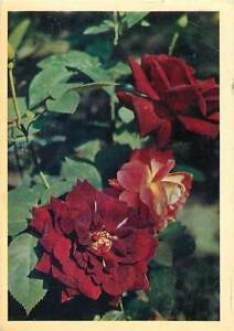 Flowers-red-rose-nature-Postcard