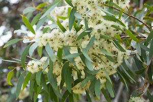 der-duftende-Zitronen-Eukalyptus-haelt-mit-seinem-Duft-laestige-Fliegen-fern