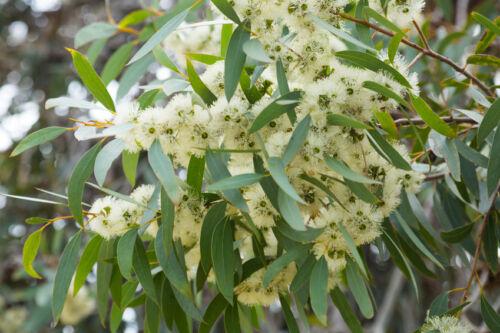 Plantes graines exotiques semences chambre plante zimmerbaum Citron-EUCALYPTUS
