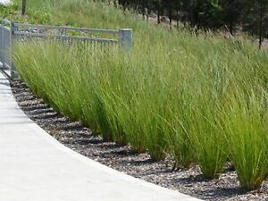 Tall sedge grass seeds ornamental grass borders garden for Tall border grass