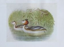 1917 GREAT CRESTED GREBE alter Druck antique print Litho Vögel Birds