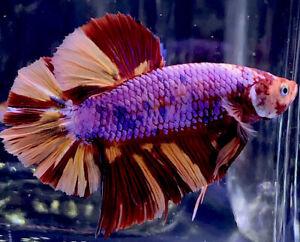 Live Betta Fish Male Import Giant Nemo Fire HMPK Betta 🔥 #669
